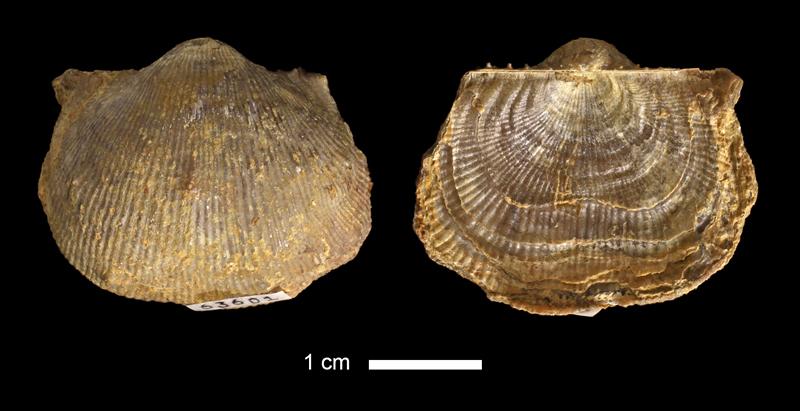<i>Linoproductus inornatus</i> from the Salesville Shale of Palo Pinto County, Texas (KUMIP 63601).