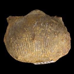 Linoproductus inornatus