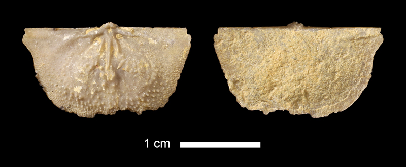 <i>Lissochonetes sp.</i> from the Topeka Limestone of Jefferson County, Kansas (KUMIP 319114).