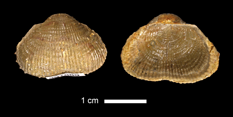 <i>Marginifera sp.</i> from the Graham Fm. of McCulloch County, Texas (KUMIP 307889).