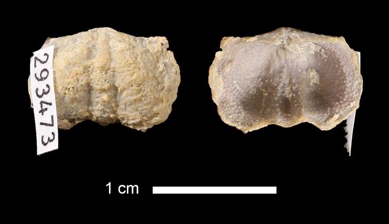 <i>Mesolobus lioderma</i> from the Cabaniss Fm. of Tulsa County, Oklahoma (KUMIP 293473).