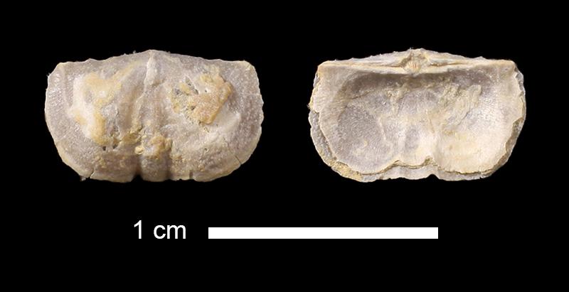 <i>Mesolobus lioderma</i> from the Cabaniss Fm. of Tulsa County, Oklahoma (KUMIP 326772).