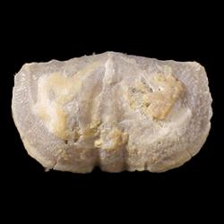 Mesolobus lioderma