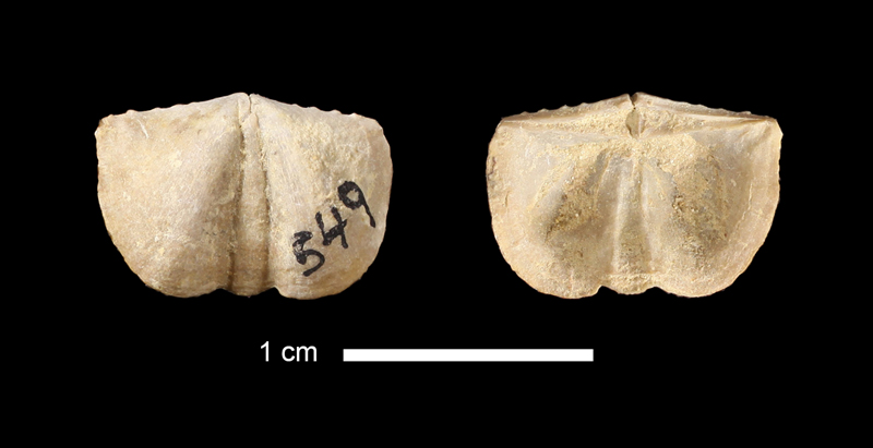 <i>Mesolobus sp.</i> from the Mingus Shale of Parker County, Texas (KUMIP 190390).