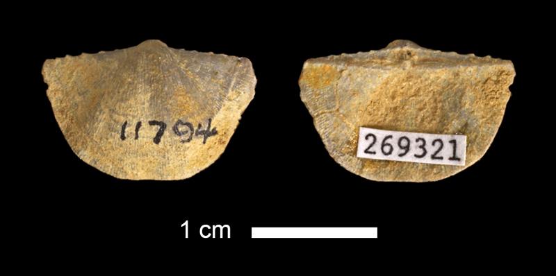<i>Neochonetes sp.</i> from the Stanton Limestone of Franklin County, Kansas (KUMIP 269321).