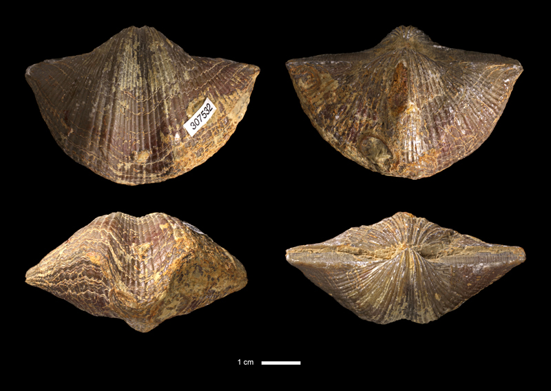<i>Neospirifer texanus</i> from the Graham Fm. of McCulloch County, Texas (KUMIP 307532).