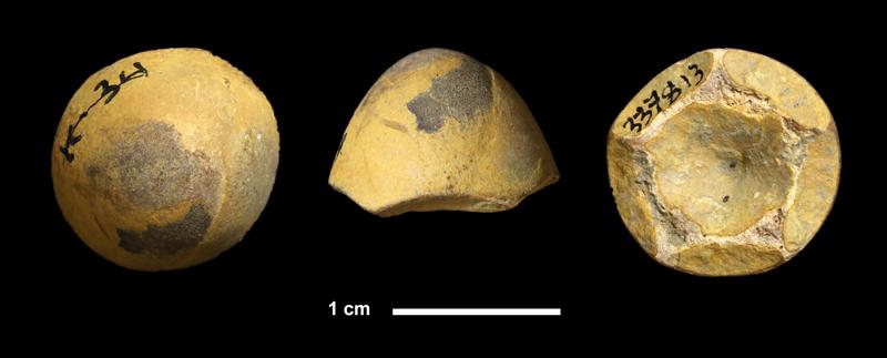 <i>Paragassizocrinus sp.</i> from the Ochelata Fm. of Washington County, Oklahoma (KUMIP 337813).