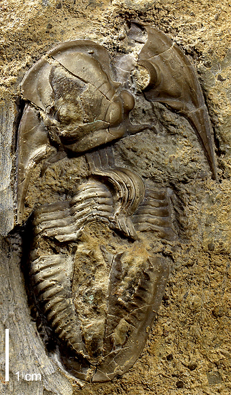 <i>Phillipsia sp.</i> from the Dennis Limestone of Neosho County, Kansas (KUMIP 146443).