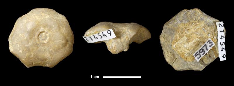 <i>Plaxocrinus sp.</i> from the Stanton Limestone of Franklin County, Kansas (KUMIP 214549).