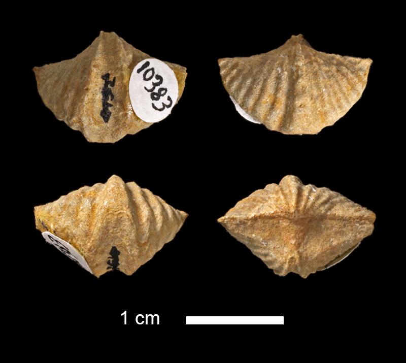 <i>Punctospirifer sp.</i> from the Big Branch Fm. of Johnston County, Oklahoma (KUMIP 10383).