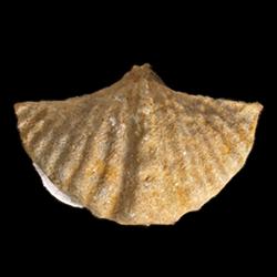 Punctospirifer