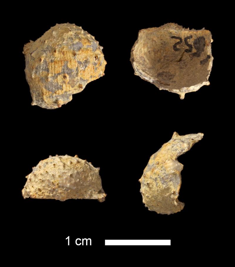<i>Pustula sp.</i> from the Lecompton Limestone of Douglas County, Kansas (KUMIP 340578).
