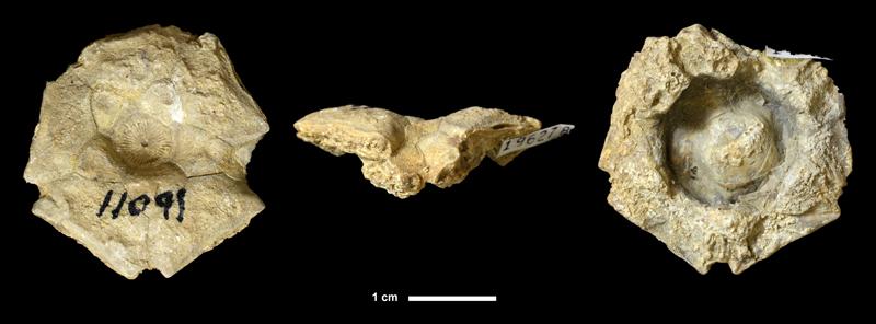 <i>Sciadiocrinus sp.</i> from the Lecompton Limestone of Greenwood County, Kansas (KUMIP 196278).