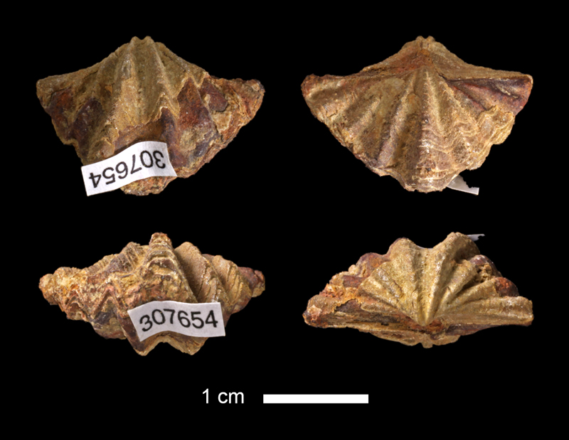<i>Spiriferina kentuckiensis</i> from the Graham Fm. of McCulloch County, Texas (KUMIP 307654).