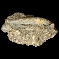 Stereobrachicrinus pustullosis
