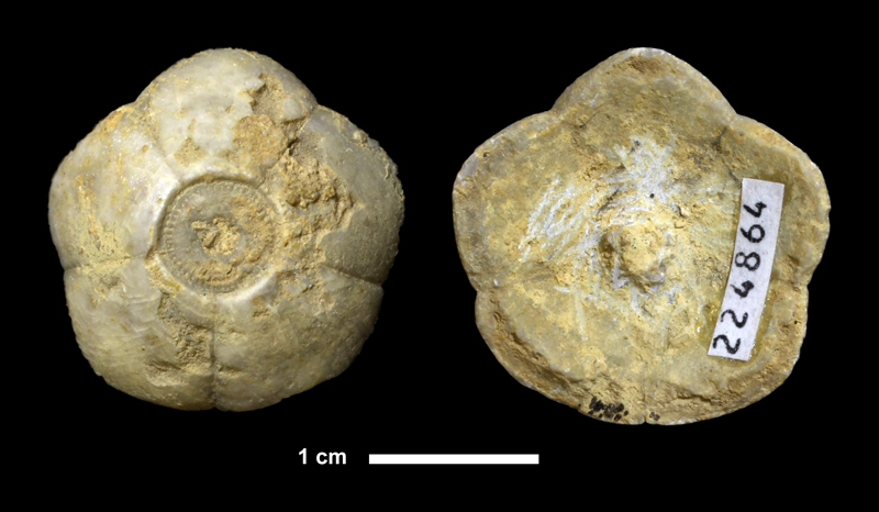 <i>Ulocrinus sp.</i> from the Oread Limestone of Douglas County, Kansas (KUMIP 224864).