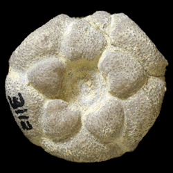Utharocrinus